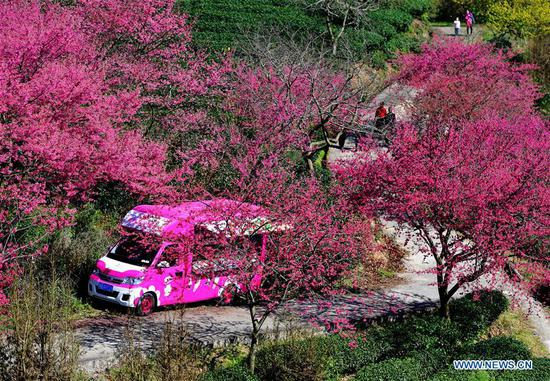 Tourists enjoy view of cherry in tea garden in SE China's Fujian