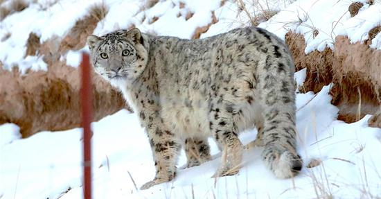 Snow leopards found in Qilian Mountain