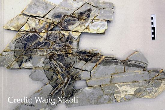 Scientists find why feathered dinosaurs in China cannot fly like birds