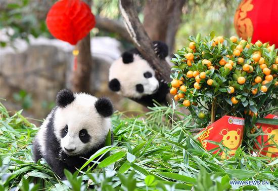 Giant panda cubs enjoy special New Year treat in Guangdong
