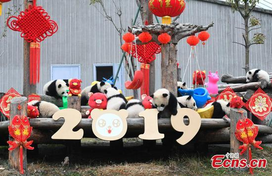 11 panda cubs join Lunar New Year celebration