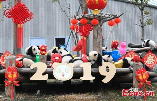 11 panda cubs join Lunar New Year celebration