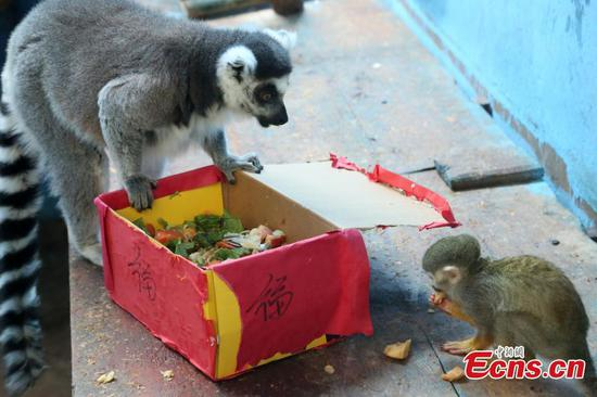 Zoo animals celebrate Spring Festival with 'red envelopes' and dumplings