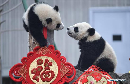 Giant pandas make group appearance to greet upcoming Spring Festival