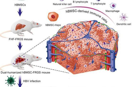Chinese researchers develop dual-humanized mice for hepatitis B study