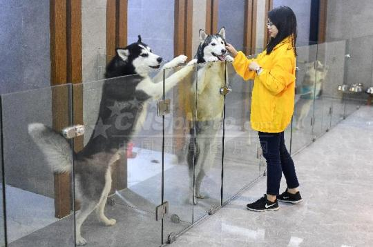 An employee of a pet hotel takes care of dogs in Guangzhou, Guangdong province. (Photo by Chen Jimin/China News Service)