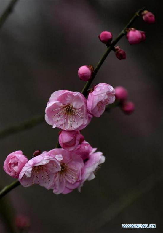 Plum flowers in Xuanen County, central China's Hubei
