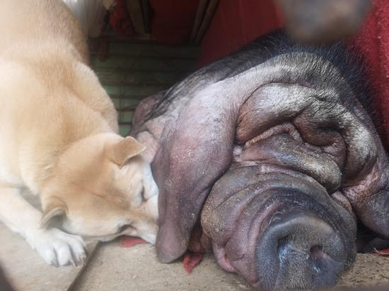 Dog and 'pig queen' bond like besties