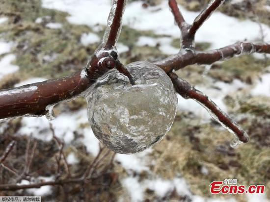 Rare 'ghost apples' left dangling on tree after ice storm