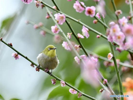 White-eye searches for nectar from plum blossoms in Fuzhou