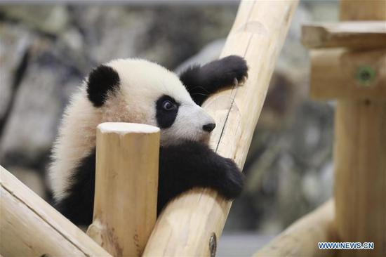 Japanese zoo celebrates popular baby panda's half-year-old birthday
