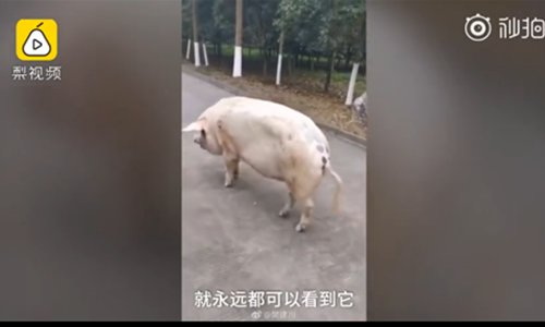 Little piggy that was trapped more than a month by devastating Sichuan earthquake turns 12