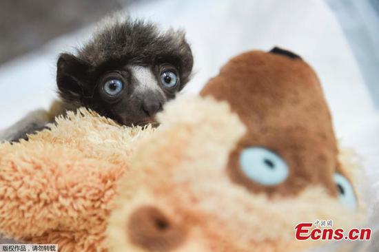 法国动物园对濒临灭绝的加冕sifaka给予良好照顾