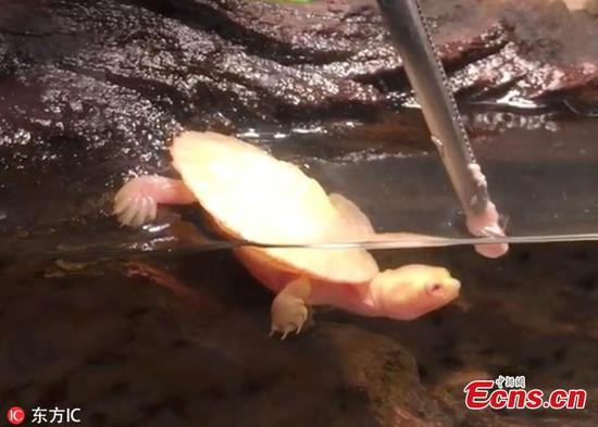 Albino turtle born with heart outside its body