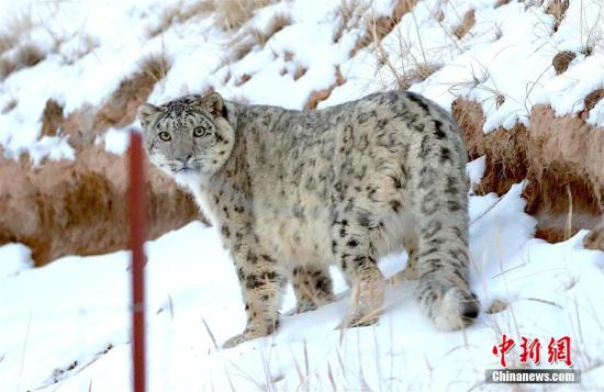A snow leopard's image was captured by infrared cameras in a nature reserve in northwest China's Gansu Province. (Photo/China News Service)