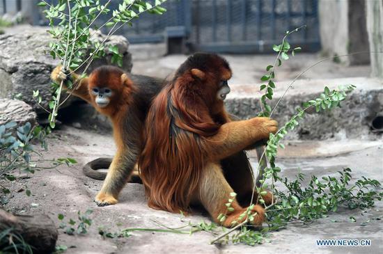 Golden snub-nosed monkeys in China have wet nurses: study