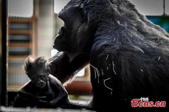 Female gorilla plays with four-week-old baby in French Zoo