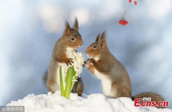Red squirrels featured in Valentine's Day photo creation