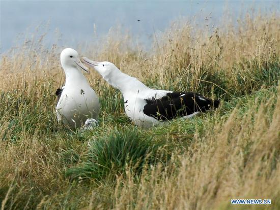 Northern Royal albatrosses chicks hatched in Dunedin, New Zealand