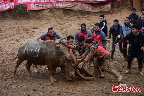 Buffalo battle attracts visitors to Guizhou village