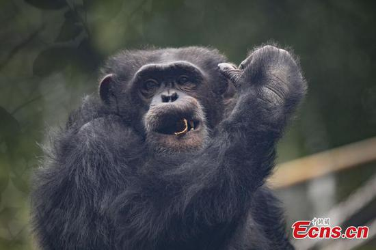 Chimpanzee pulls acrobatic moves in Chongqing park