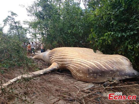 Humpback whale found beached in Brazil