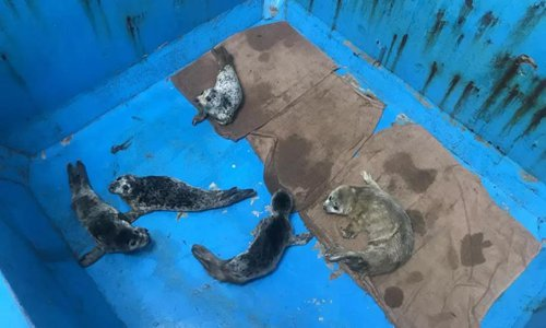 Several rescued spotted seal cubs are in temporary settlement. (Photo/Press office of Dalian government)