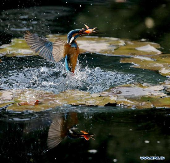 Kingfisher catches fish from pond in Wuxi, Jiangsu