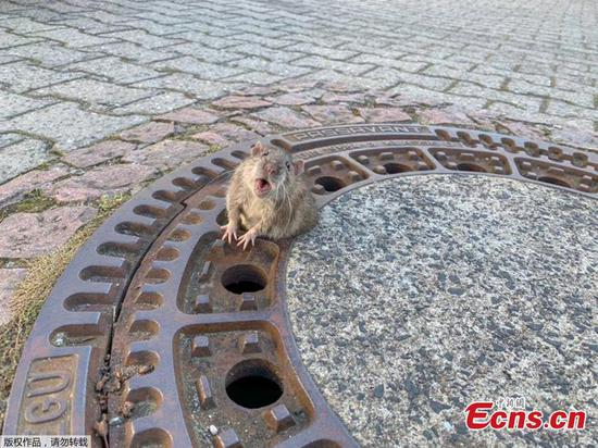 German fire department frees rat from manhole cover