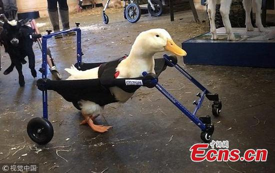 Disabled duck walks with aid of tailored animal wheelchair