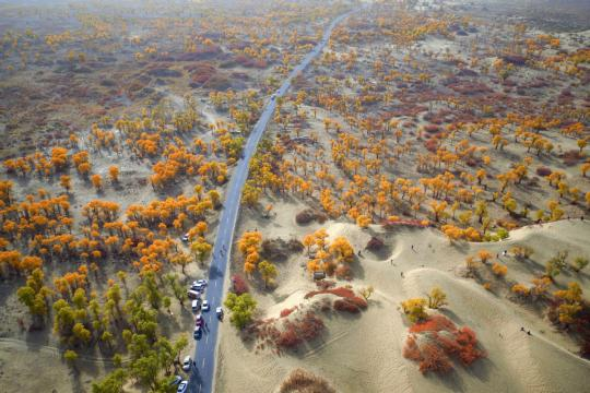 Poplar trees and shrubs turn gold and red in fall in the Tarim basin, Xinjiang Uygur autonomous region. (QUE HURE/FOR CHINA DAILY)