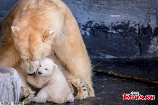 Polar bear cub makes debut in Copenhagen Zoo