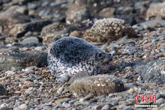 Spotted seals make home on Dalian beaches