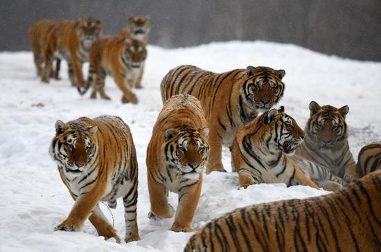Siberian tigers play at the China Hengdaohezi Feline Breeding Center in Hailin City, northeast China's Heilongjiang Province, Nov. 22, 2018. (Xinhua/Wang Jianwei)