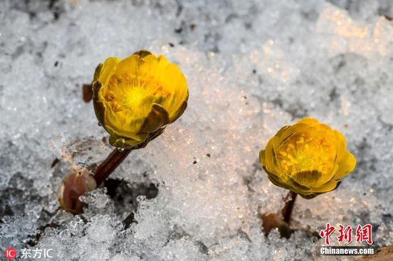 吉林大雪中鲜花盛开