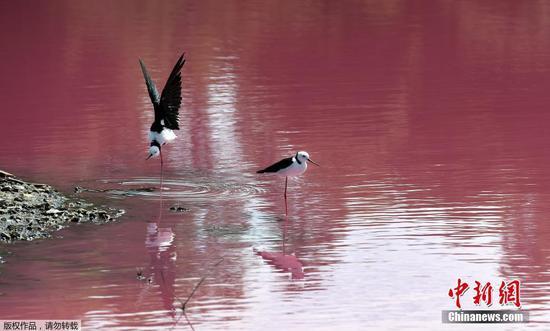 墨尔本西门公园盐湖变成粉红色