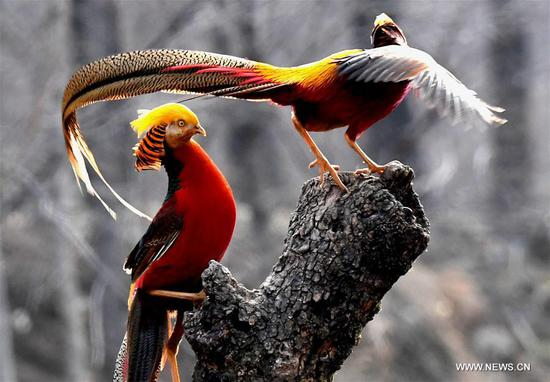 Golden pheasants sport in woods in C China's Henan