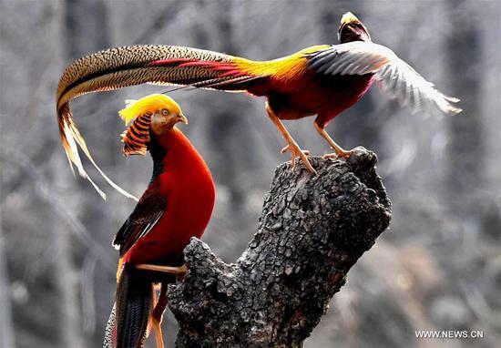 中国河南省的森林中的金鸡运动