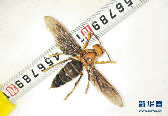 World's largest hornet found in Yunnan