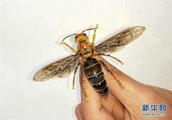 A hornet with a wingspan of 9.35 cm discovered in Southwest China's Yunnan province. (Photo/Xinhua)