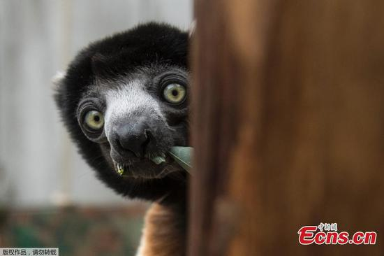 Meet the most curious crowned sifaka at a French zoo