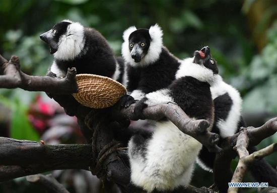 Triplets of black-and-white ruffed lemur meet public