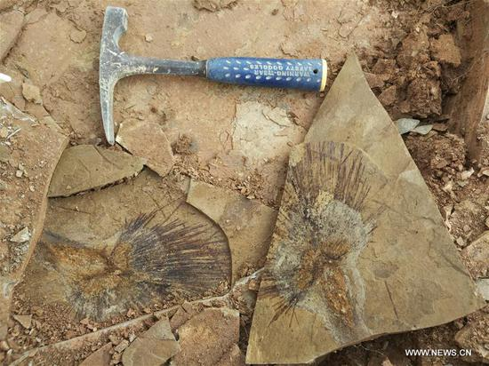 Fossil leaves shed light on formation of Qinghai-Tibet Plateau