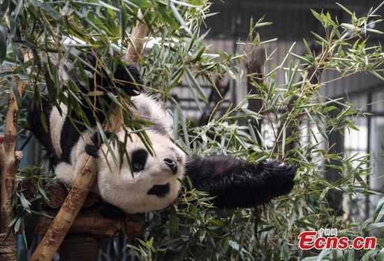 Giant panda Hua Ao meets public in Jinan