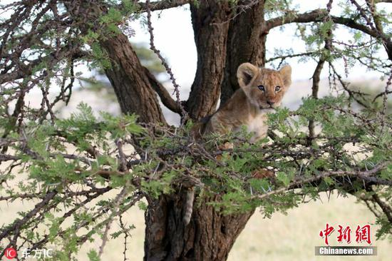 Lion cub lands on two feet after he plunges from a tree