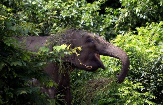An elephant in the Xishuangbanna Natural Reserve's Mengyang section in Yunnan province. (Photo For China Daily/Li Yunsheng)