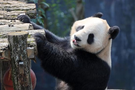 Giant panda enjoys spring sunshine