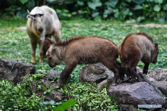 7 golden takin babies shown to public at Chimelong Safari Park