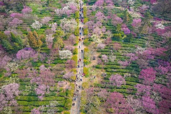 Spring brings color to Meihua Mountain, Nanjing city