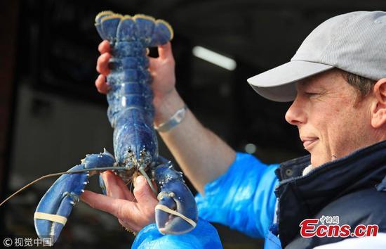 罕见的蓝龙虾在英国海岸附近被捕